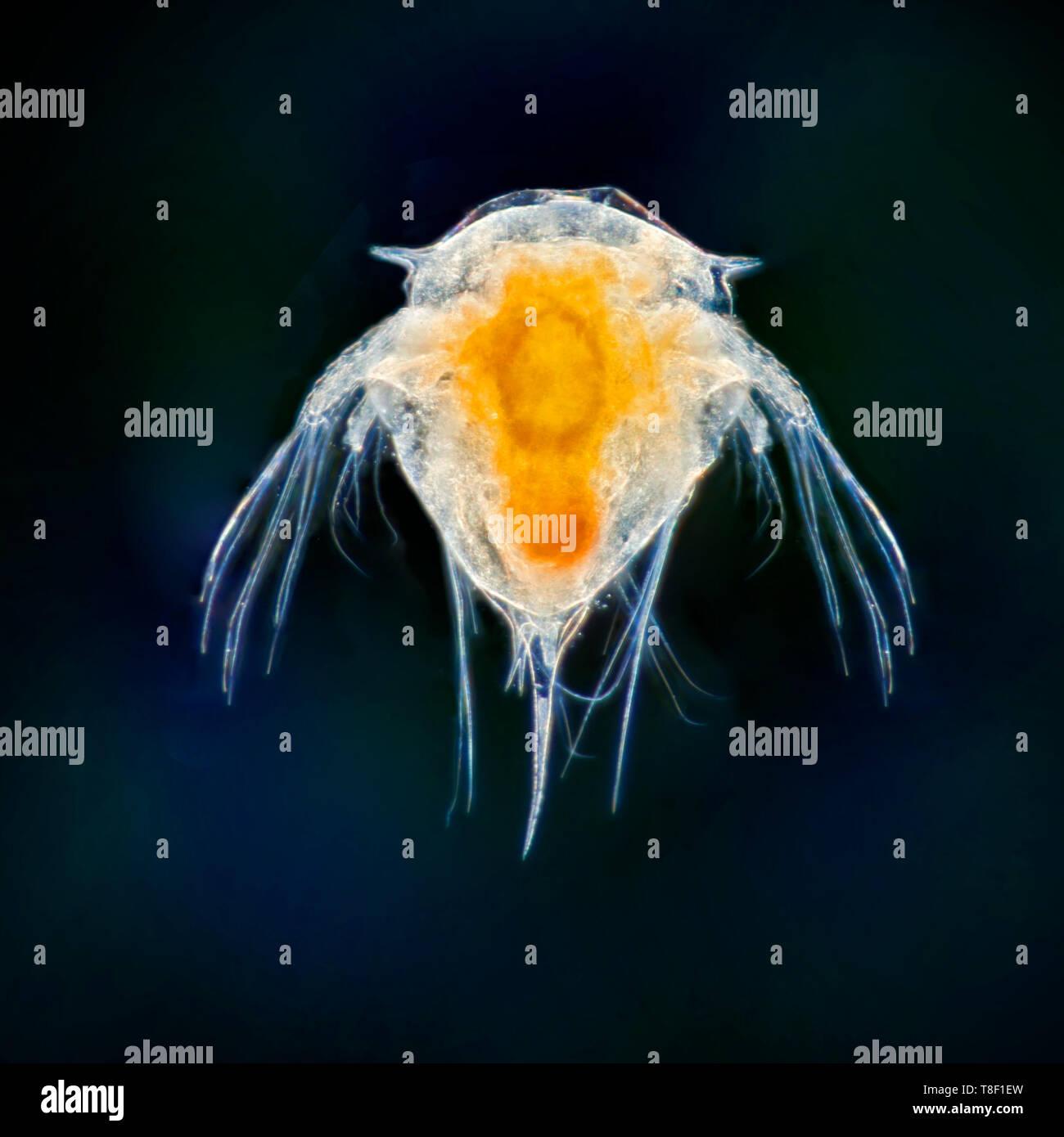 Darkfield microfotografía, Acorn barnacle estadios larvales. Semibalanus balanoides. Foto de stock