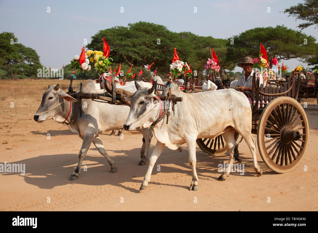 Carro con bueyes vestidos fiesta, Old Bagan aldea, región de Mandalay, Myanmar, Asia Imagen De Stock