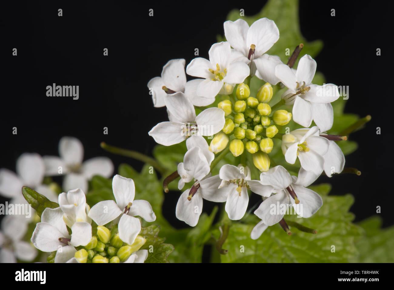 Gato-por-la-hedge o protegerse de ajo (Alliaria petiolata) blanco abierto parcialmente la cabeza de la flor y hojas, Berkshire, Abril Foto de stock