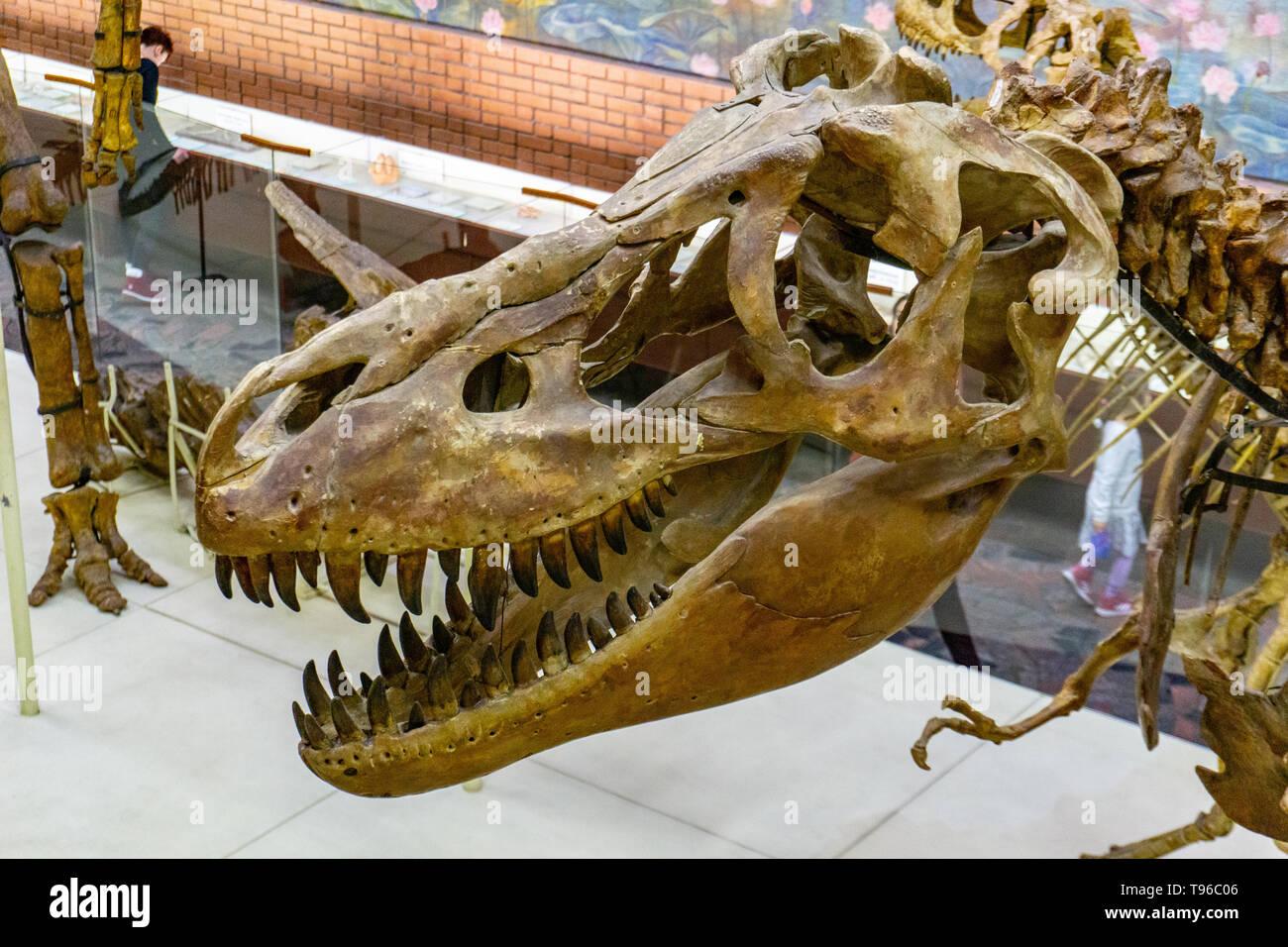 Esqueleto de dinosaurio carnívoro depredador Tyrannosaurus. Museo Paleontológico Moscú, 28.01.2019 Imagen De Stock