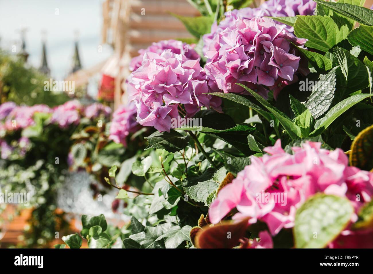 Hydrangea Rosa Lila Flores Decoradas Cafés Terrazas De