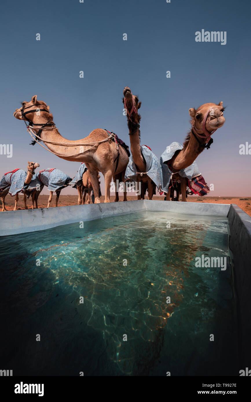 Beber los camellos después de una carrera de camellos, Arabia Saudita Foto de stock