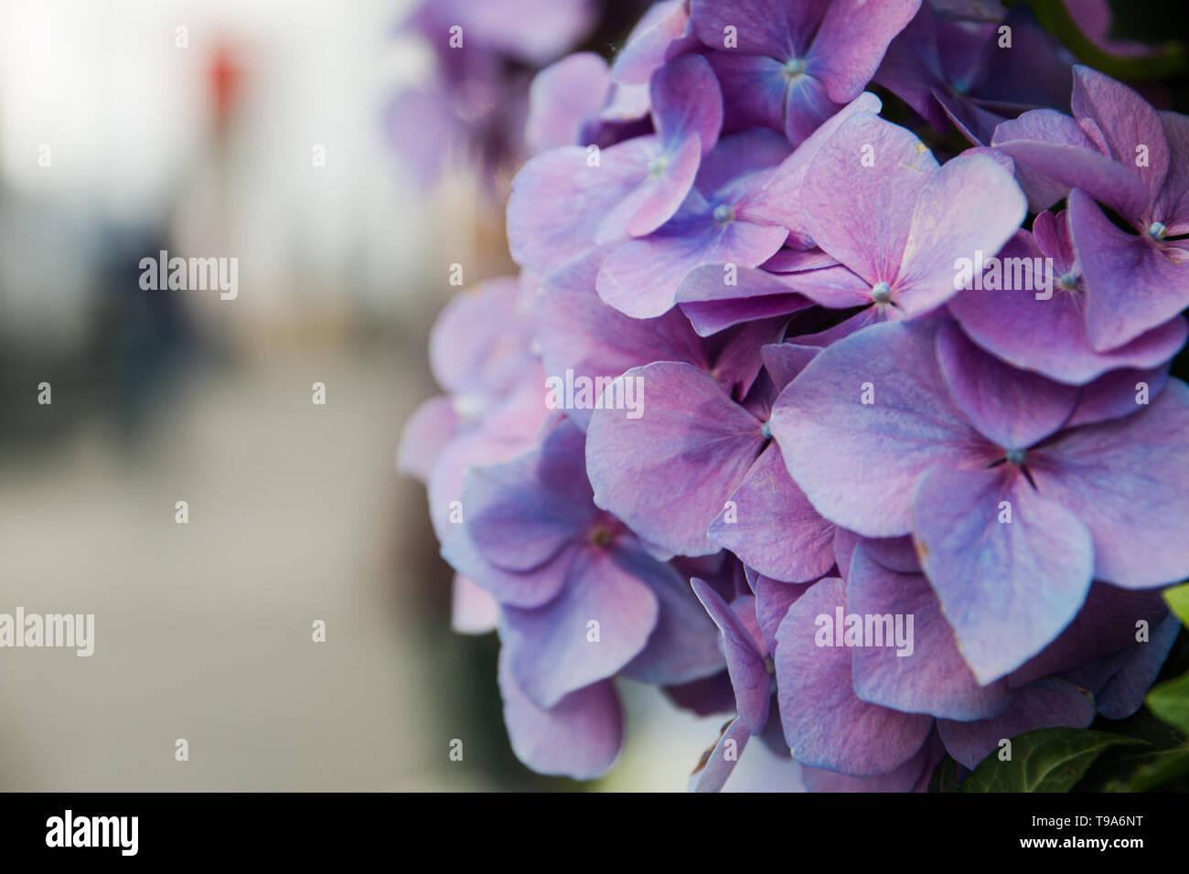 Hydrangea Azul Lila Flores Decoradas Cafés Terrazas De