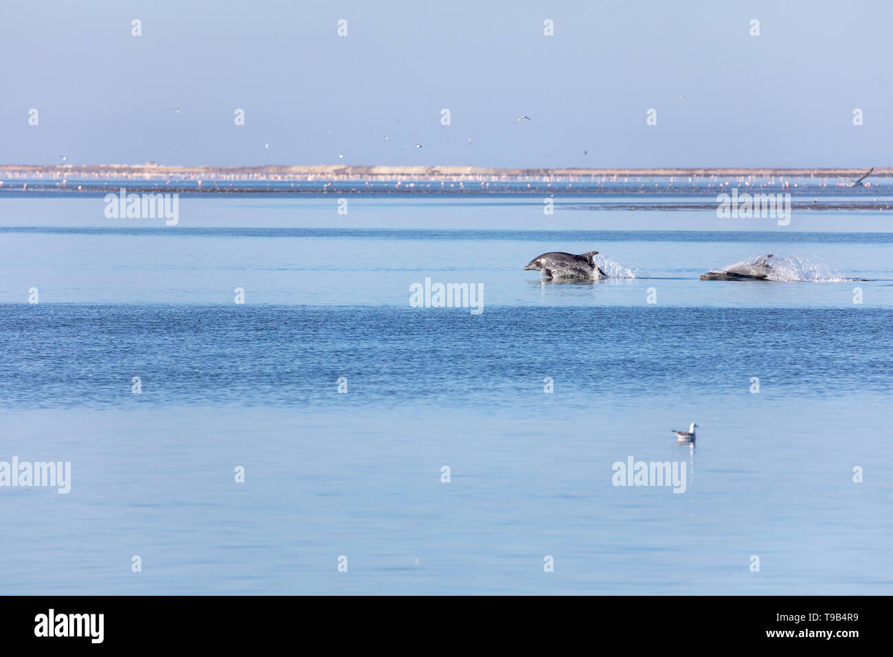 Común del Atlántico o el delfín mular (Tursiops truncatus) Foto de stock