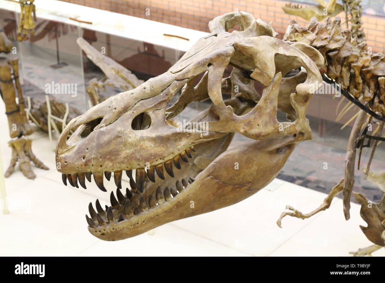 Moscú 05.12.2019: Museo Paleontológico. Cráneos y esqueletos de dinosaurios. Big head dinosaurio con dientes afilados. Paleontología Imagen De Stock