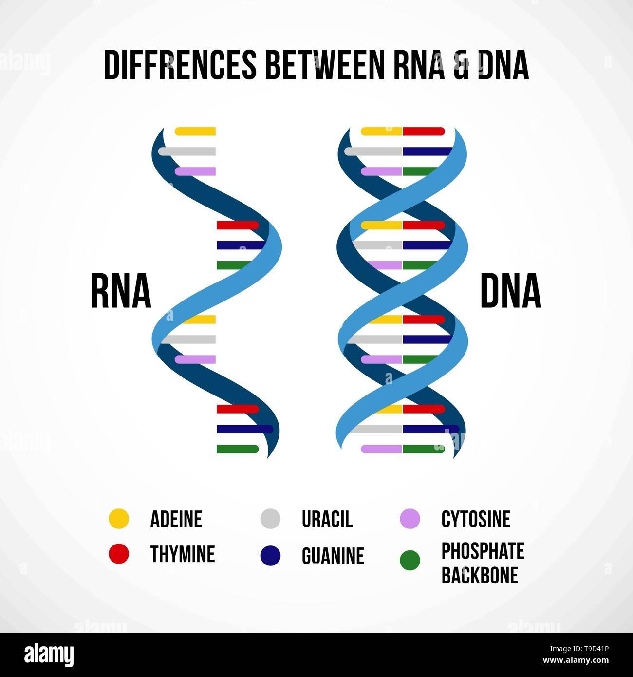 Ribonucleic Acid Rna Imágenes De Stock Ribonucleic Acid