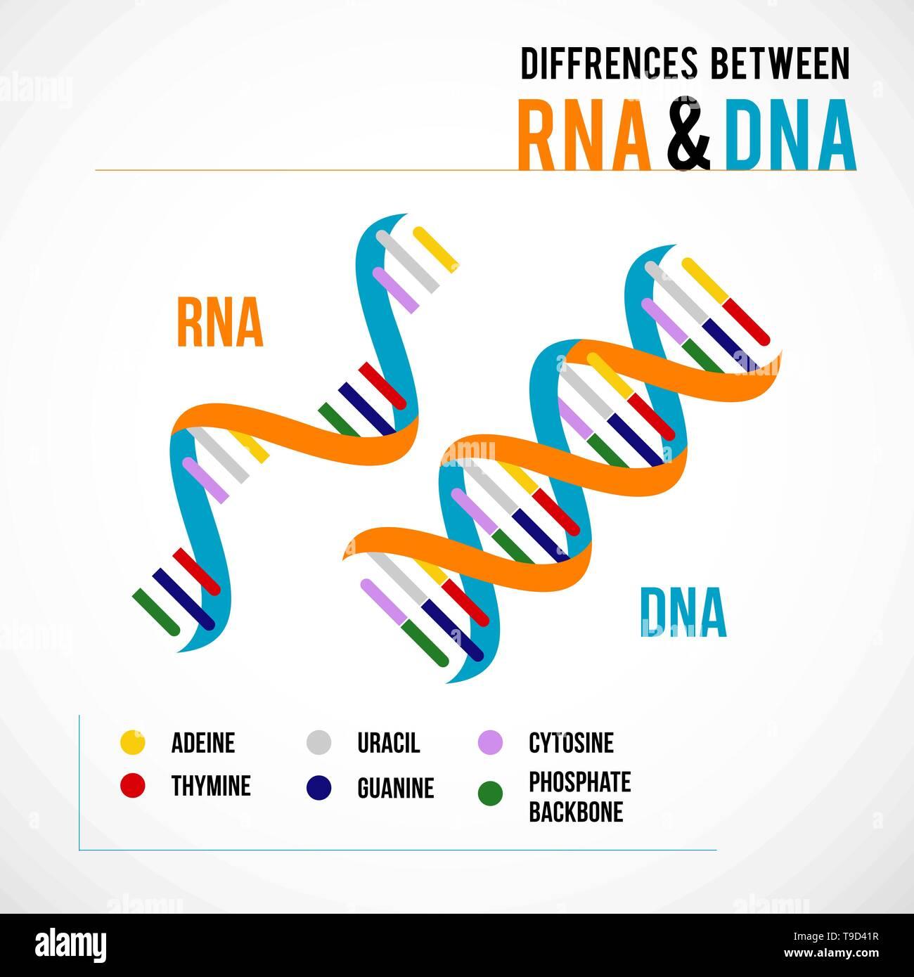 Diferencias Entre El Adn Y El Arn Vector Icono Científico