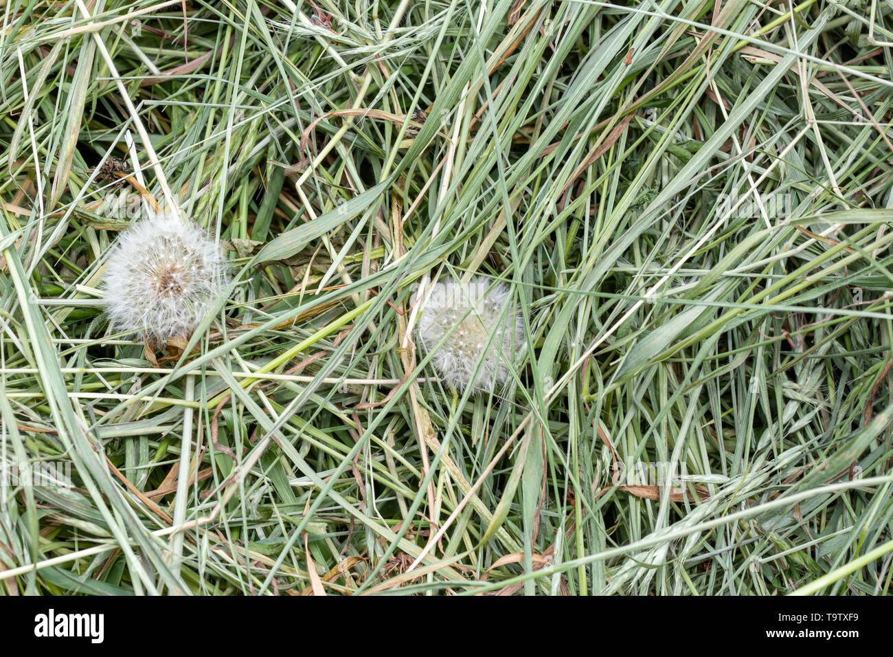 Textura de fondo natural: detalle de un montón de hierba recién cortada en las hierbas que pueden usarse para abono y paja u otros usos agrícolas y de jardín. Foto de stock