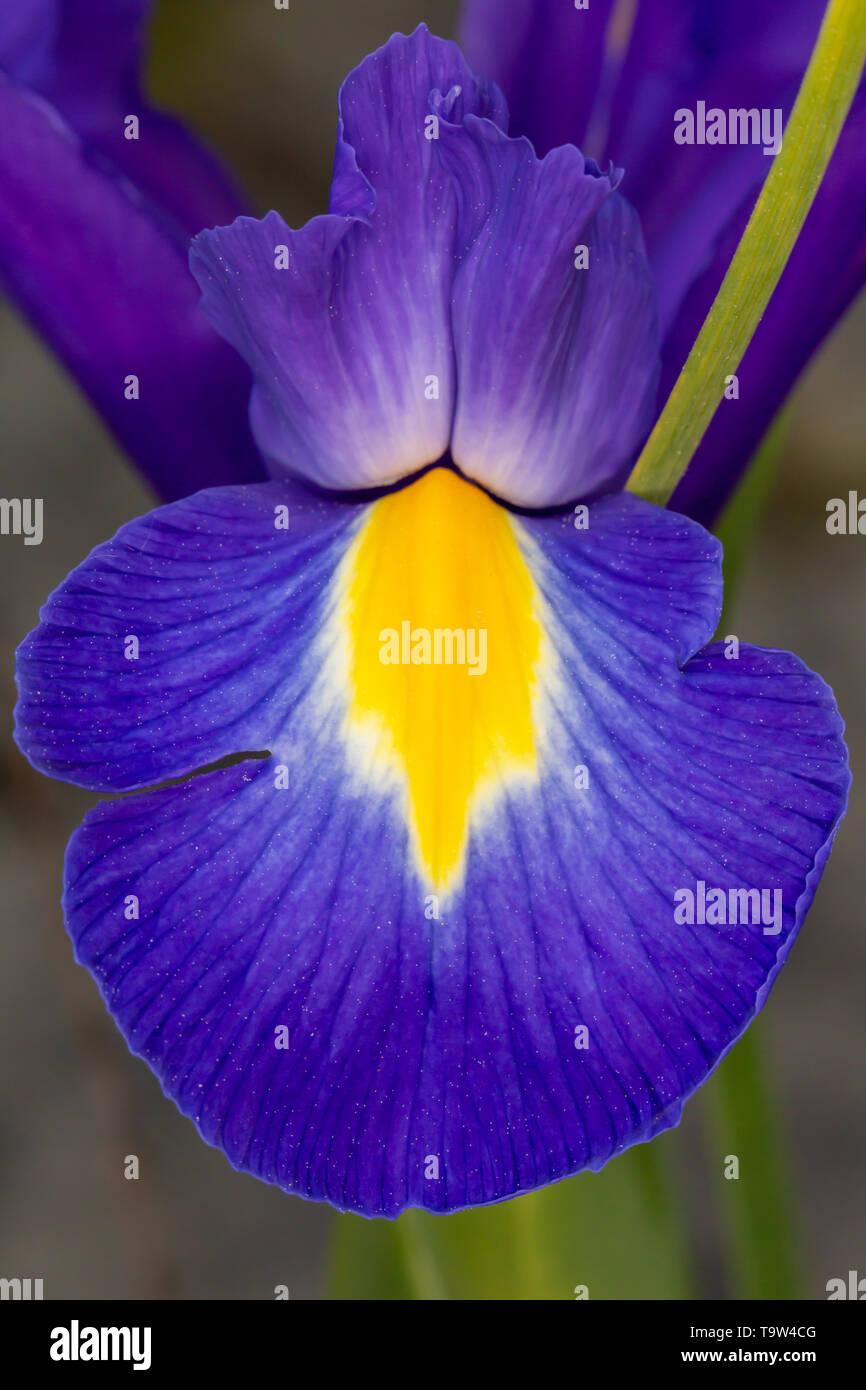 Azul violeta Iris Iridaceae pétalo de flor de cerca sobre fondo gris Foto de stock