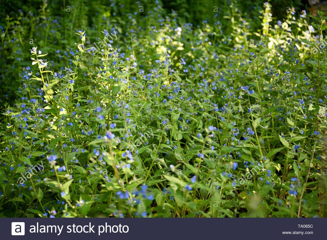 Wildlife-friendly cottage ingles jardín cubierto de flores silvestres en primavera sol. Imagen De Stock