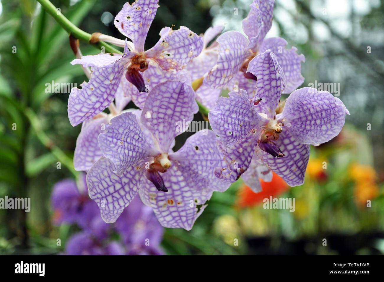 Una rama de la floración Phalaenopsis orchid afectadas por la plaga del jardín, el enfoque selectivo Imagen De Stock