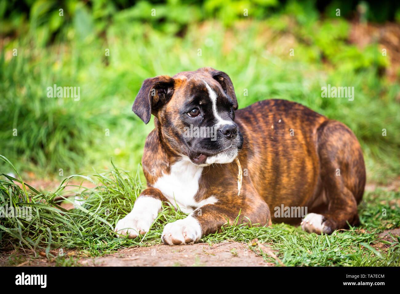 German Boxer Puppy Fotos E Imagenes De Stock Alamy