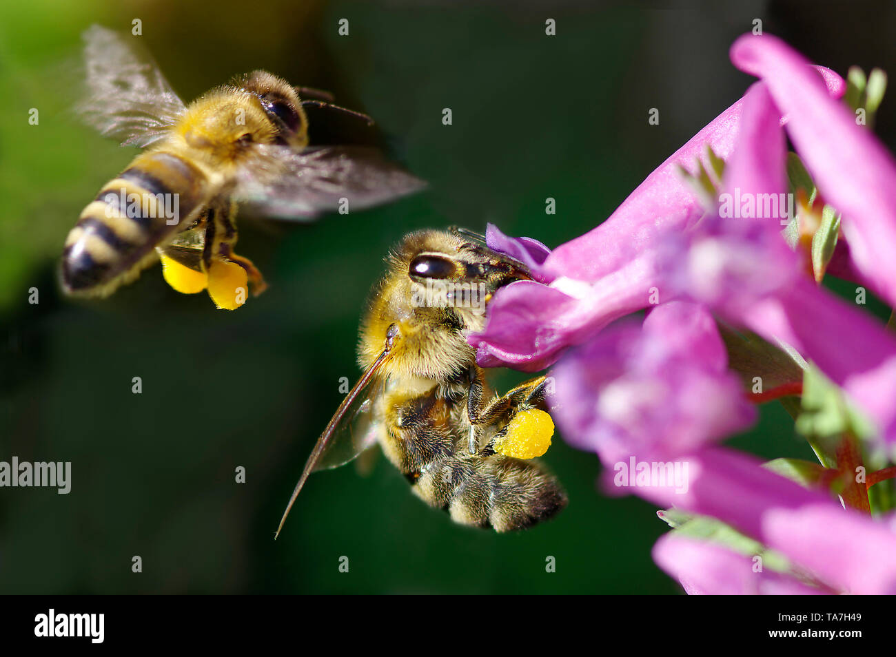 Miel de abejas (Apis mellifica Apis mellifera). Trabajador en Fumewort Corydalis (solida) flores, otro en el aterrizaje. Ambos con cestas de polen en las patas traseras. Alemania Foto de stock
