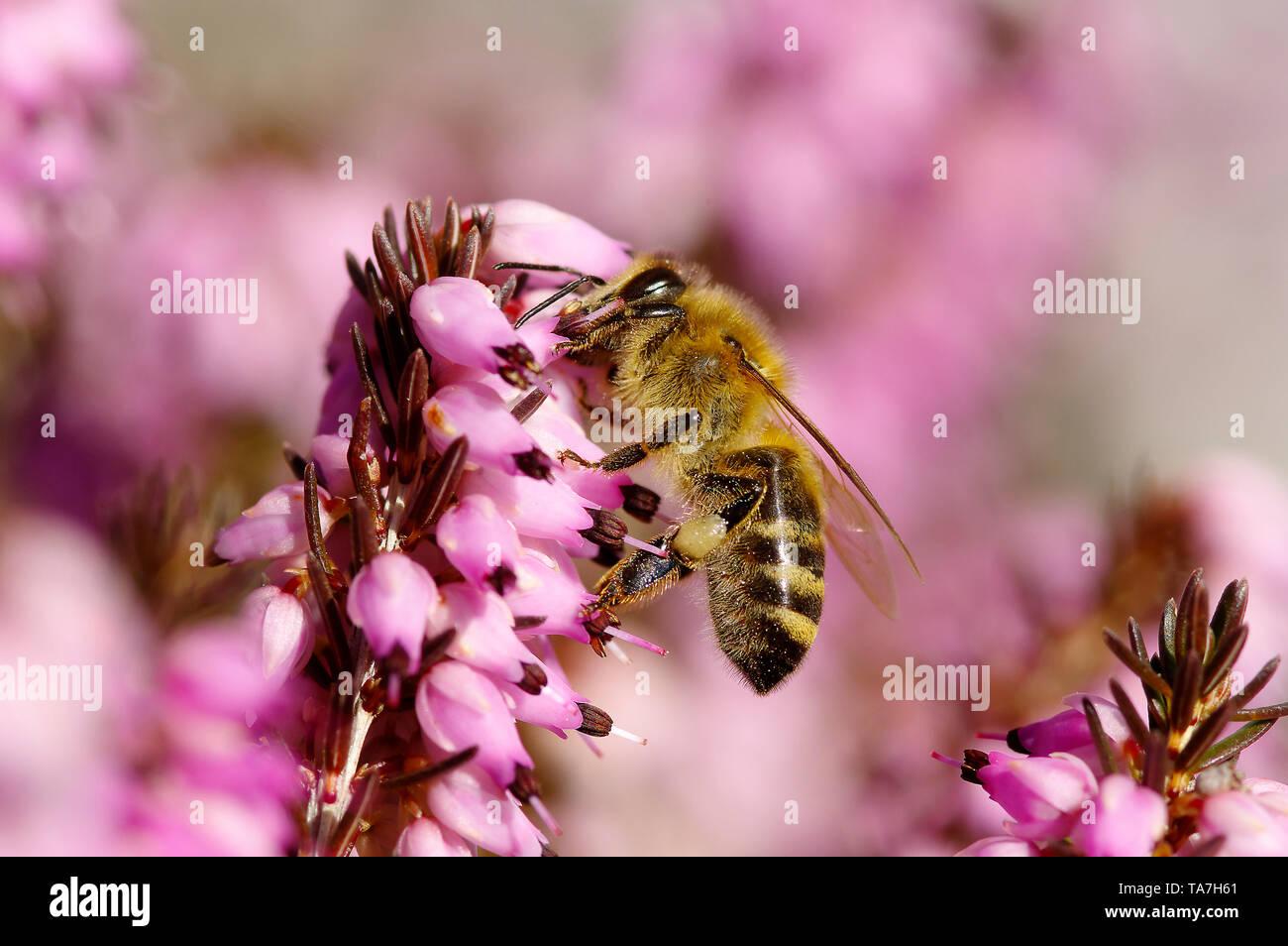 Miel de abejas (Apis mellifica Apis mellifera). Trabajador en invierno la nieve Heath, brezo (Erica carnea) flores. Alemania Foto de stock