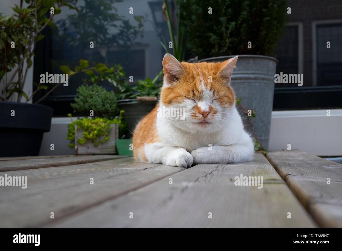Duerme tranquilo gato rojo y blanco sobre una mesa de jardín de madera Imagen De Stock