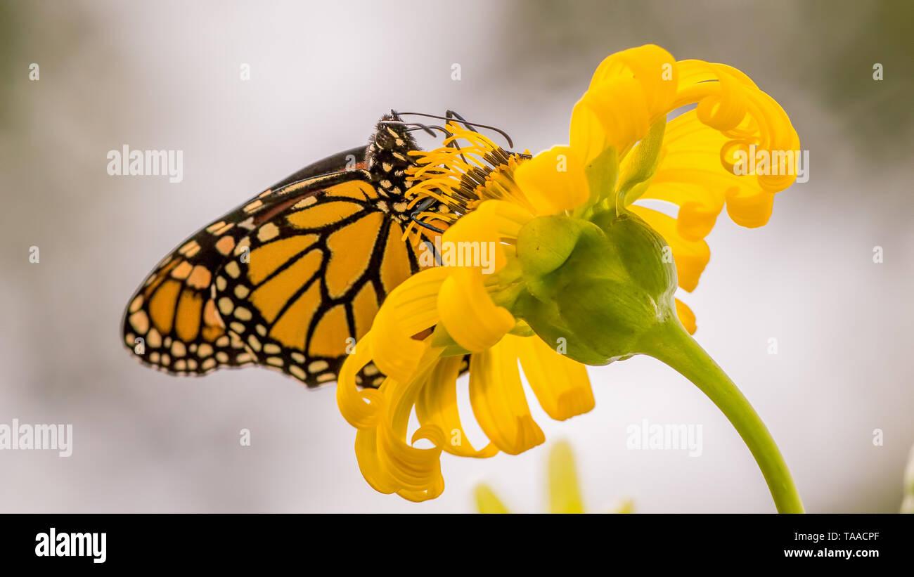 Mariposa Monarca sobre púrpura wildflower en Theodore Wirth Park en Minneapolis, Minnesota Foto de stock