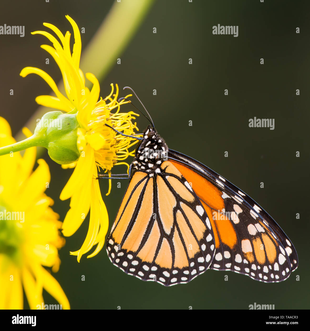 Mariposa Monarca en amarillo en el wildflower Theodore Wirth Park en Minneapolis, Minnesota Foto de stock