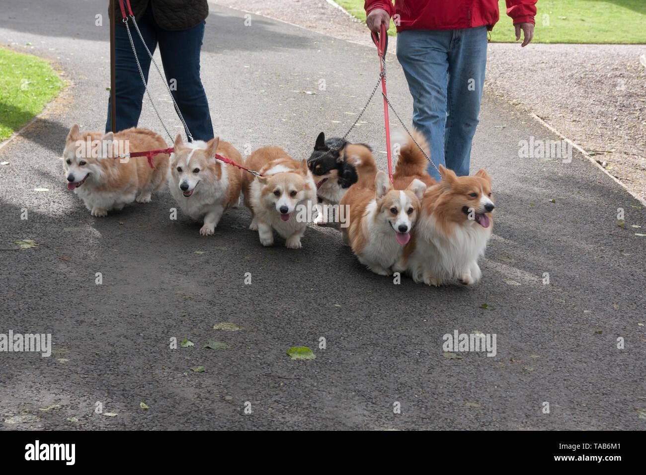Perros corgi, grupo de seis adultos que caminaba sobre cables, Inglaterra, Reino Unido. Foto de stock