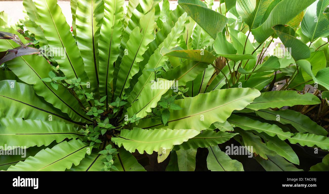 Las hojas verdes de nido de pájaro helecho en vivero de plantas agrícolas de fondo - Asplenium nidus helecho nido Foto de stock