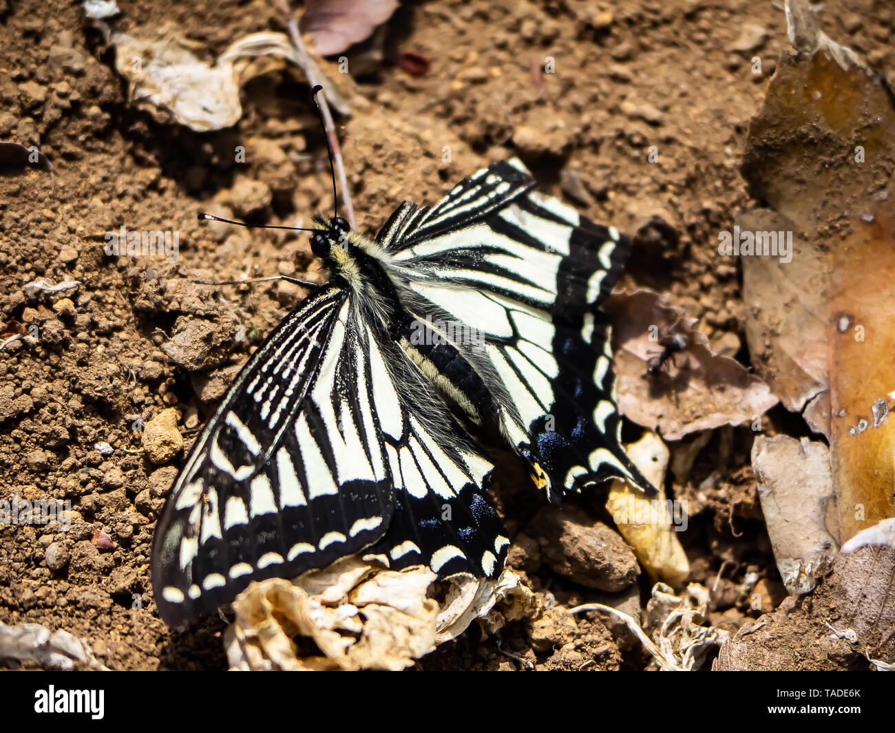 Una especie asiática china, mariposas papilio xuthus, descansa sobre el suelo entre alimentándose de flores. Foto de stock