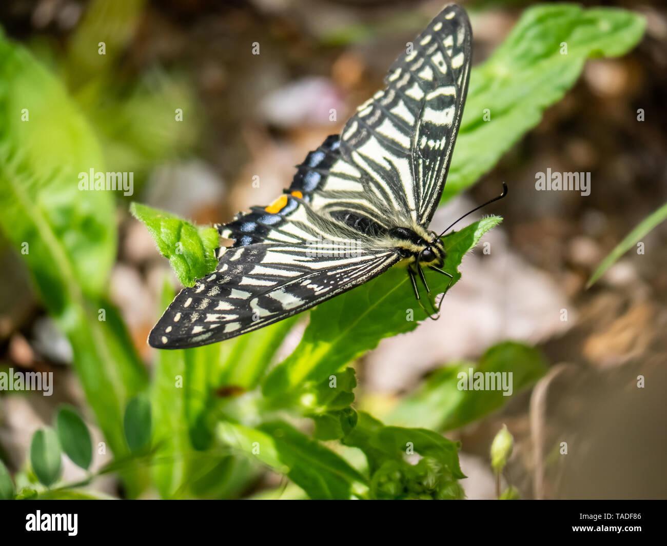 Una especie asiática china, mariposas papilio xuthus, descansa sobre una hoja entre alimentándose de flores. Foto de stock
