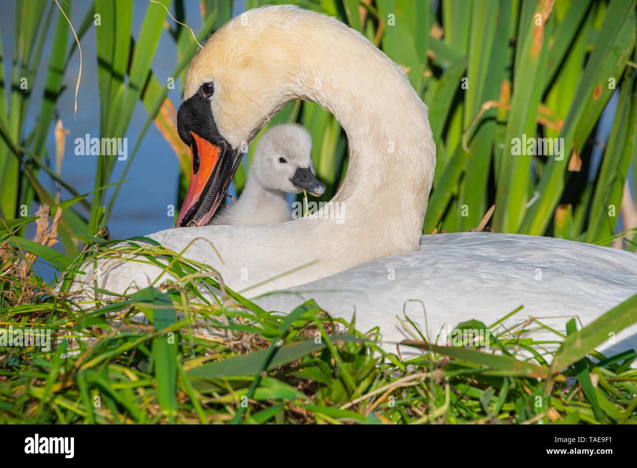 Un cisne (Cygnus olor), Pen y cygnet sentados juntos en un nido. Imagen De Stock