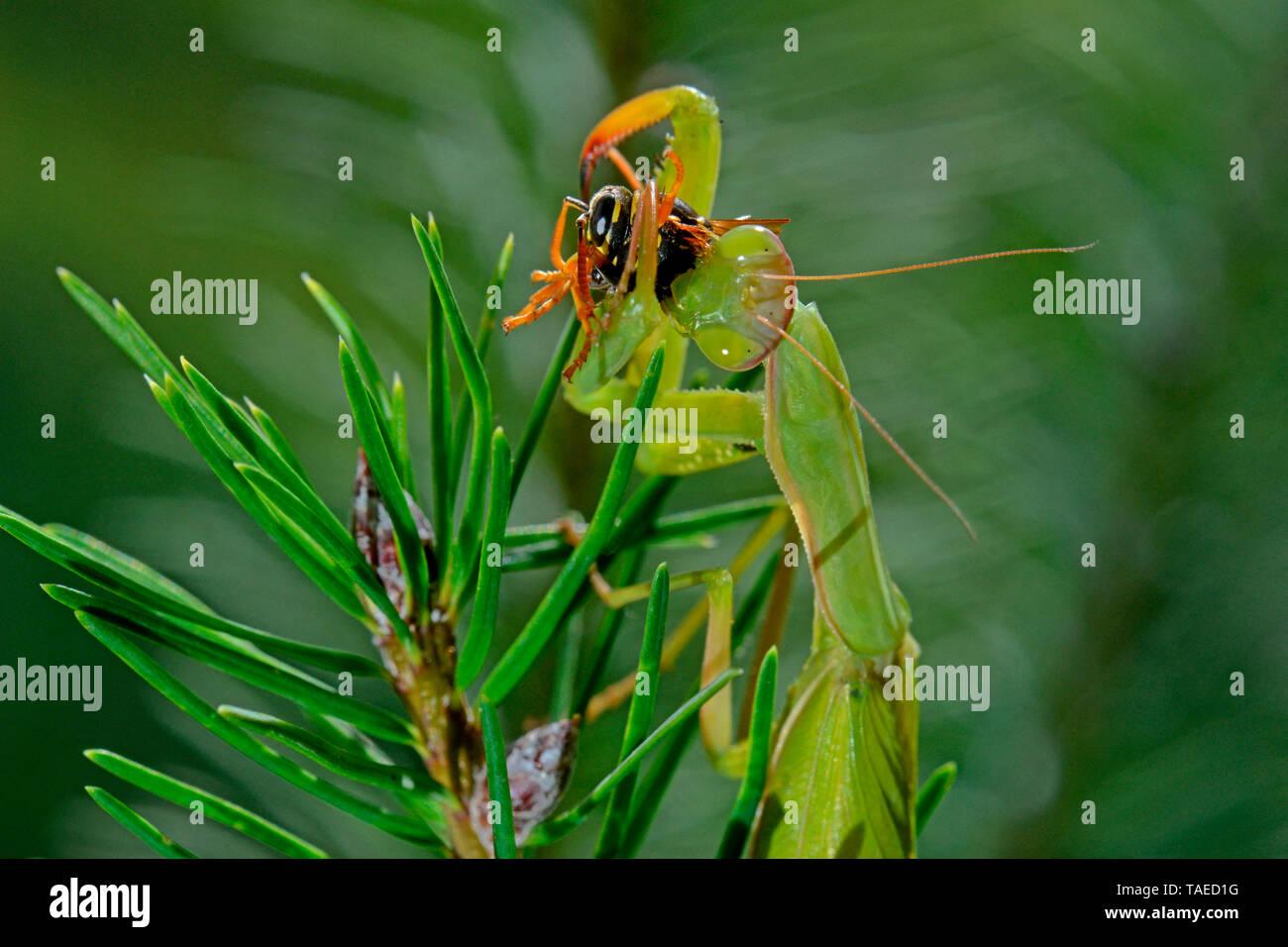 Mantis (mantis religiosa) comer una avispa de papel (Polistes sp) Romero en verano, Cataluña, España Foto de stock