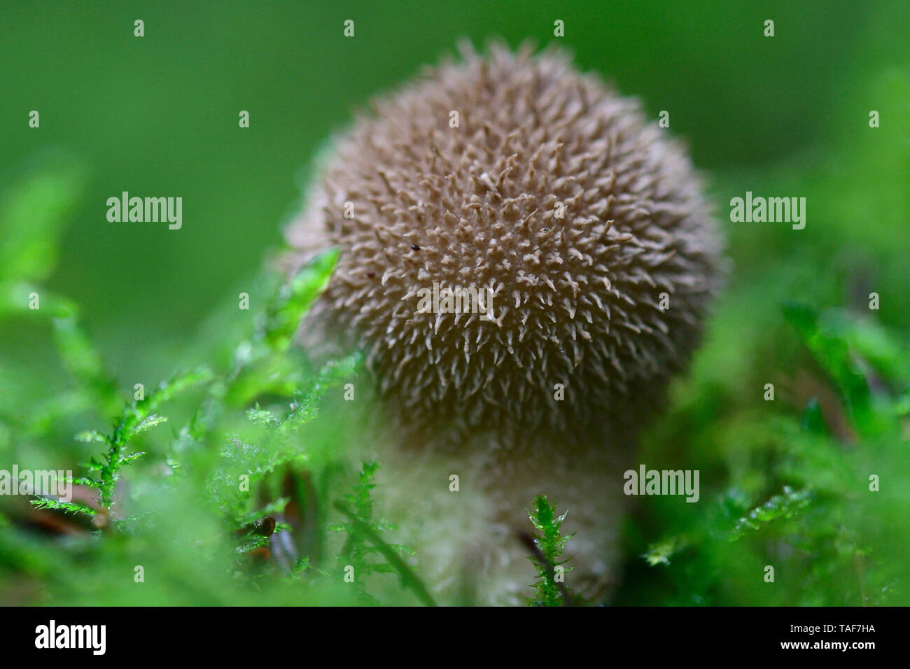 Puffball espinoso (Lycoperdon echinatum), Vosges, Francia Foto de stock