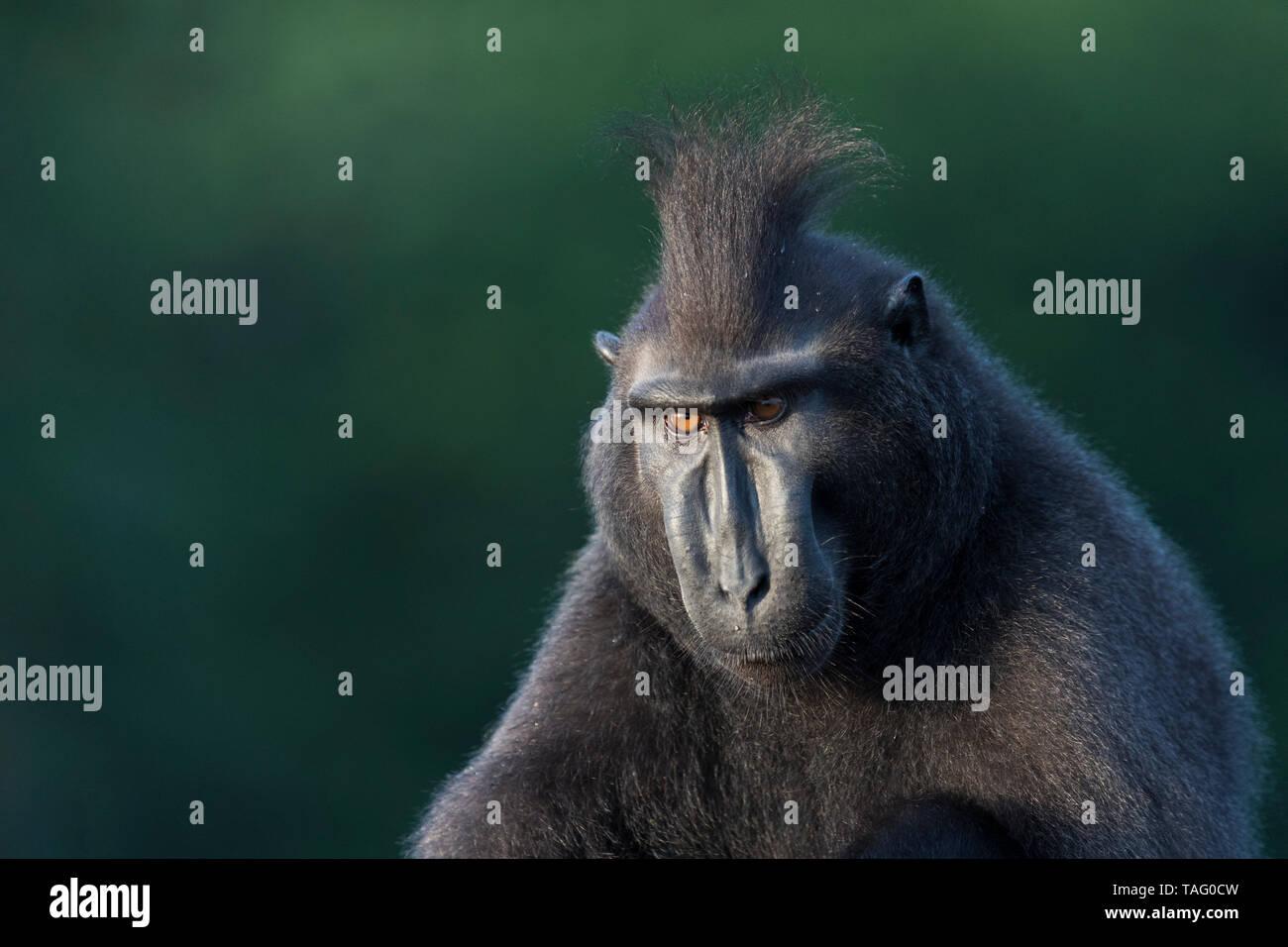 El macaco crestado de Célebes o Sulawesi, macaco negro crestado crestados, macaco o el negro ape (Macaca nigra), macho adulto, el Parque Nacional Tangkoko, Sulawesi, Sulawesi, Indonesia Foto de stock
