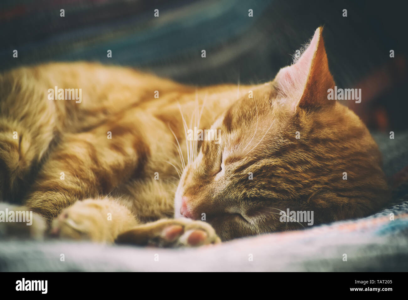 Retrato de un lindo gato jengibre que duerme en una silla cerca, tonificada Foto de stock