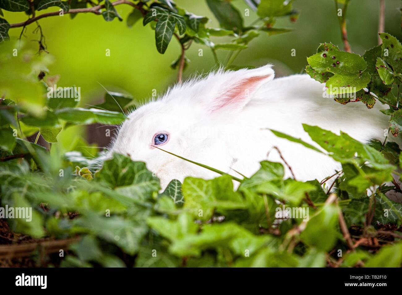 Conejo enano blanco Foto de stock