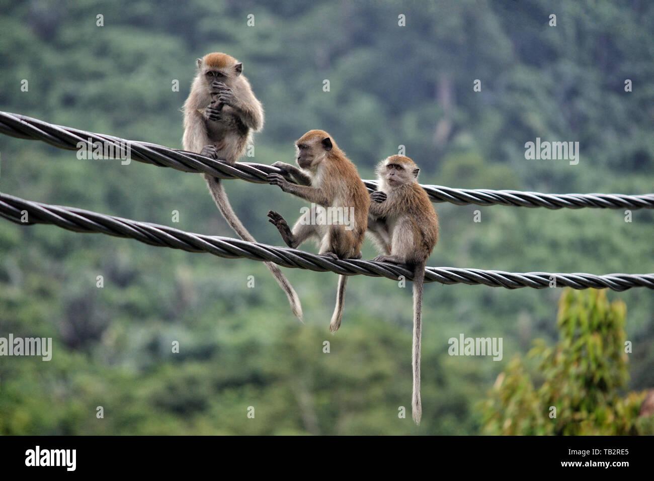 Long-tailed macacos (Macaca fascicularis) sentado en el cable eléctrico en la isla de Pulau Tioman, Pahang, Malasia Foto de stock