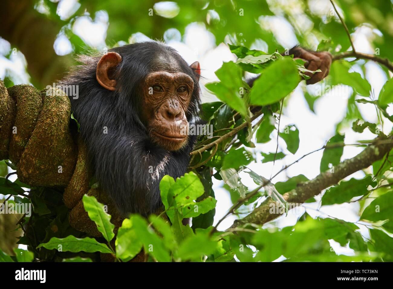 El chimpancé (Pan troglodytes schweinfurthii menores) en un árbol. Parque Nacional Kibale, en Uganda. Imagen De Stock