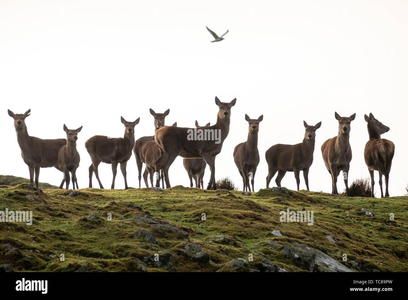 Ciervo rojo, Cervus elaphus scoticus, Parque Nacional de Cairngorms, Highlands, Escocia, Reino Unido. Foto de stock