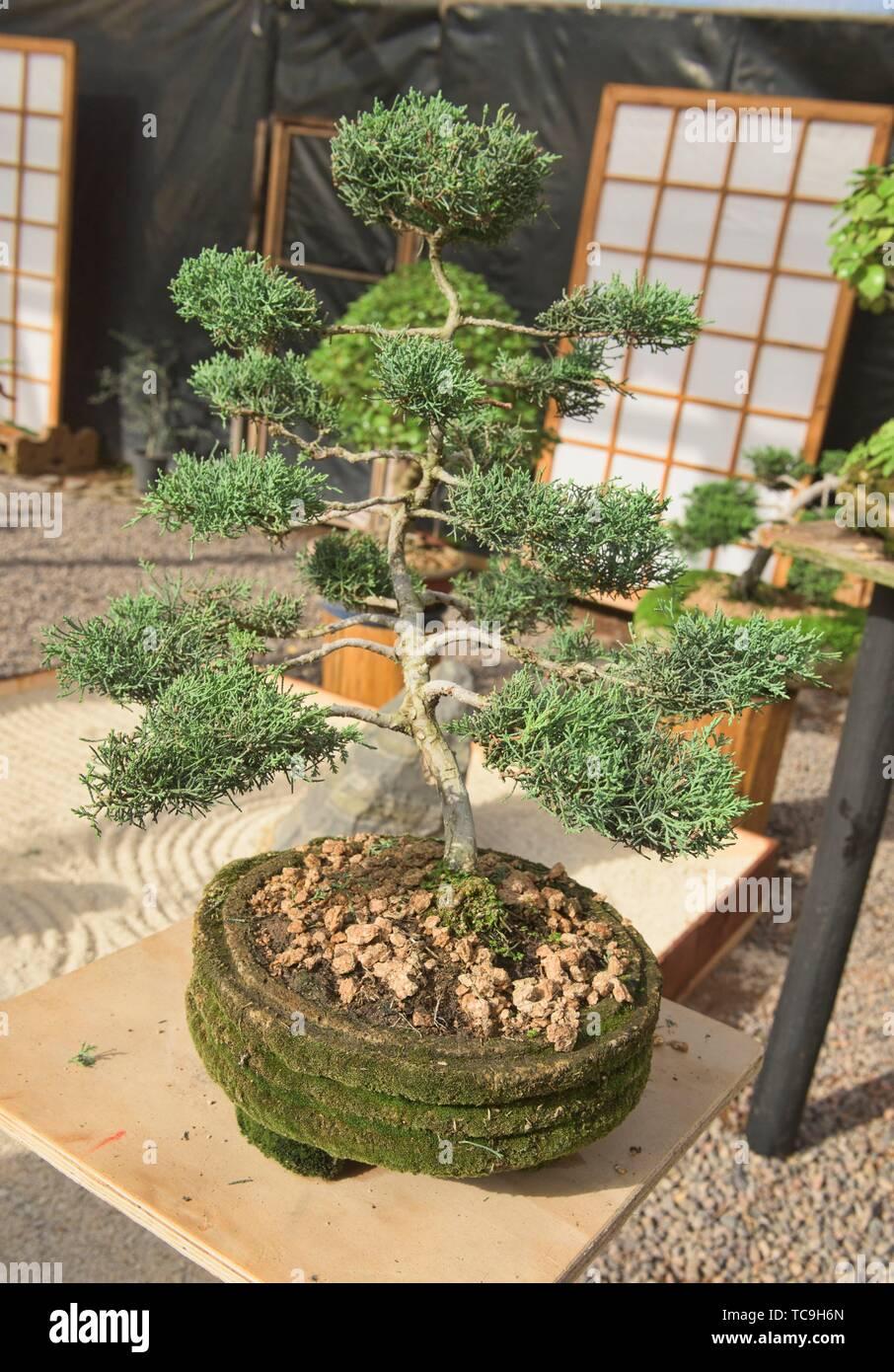 Bonsai en el Jardin de Corazon jardín Japonés, La Serena, Chile. Foto de stock