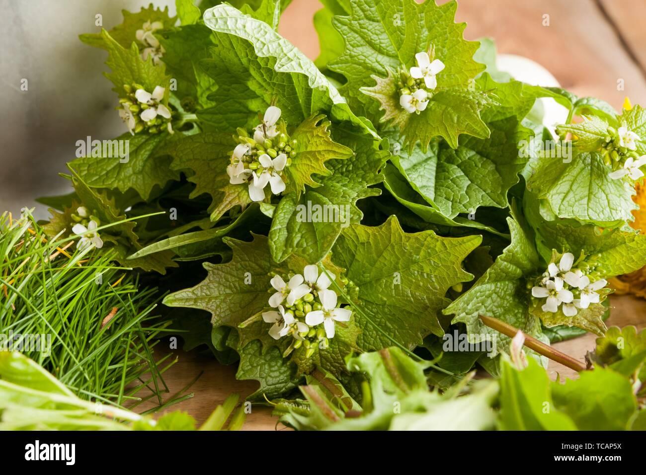 Alliaria petiolata ajo (mostaza) - plantas silvestres comestibles sobre un fondo de madera. Foto de stock