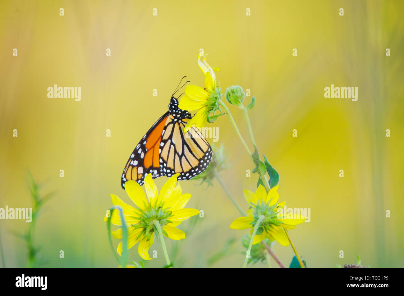 Mariposa Monarca en wildflower en Crex Meadows Wildlife Area Foto de stock