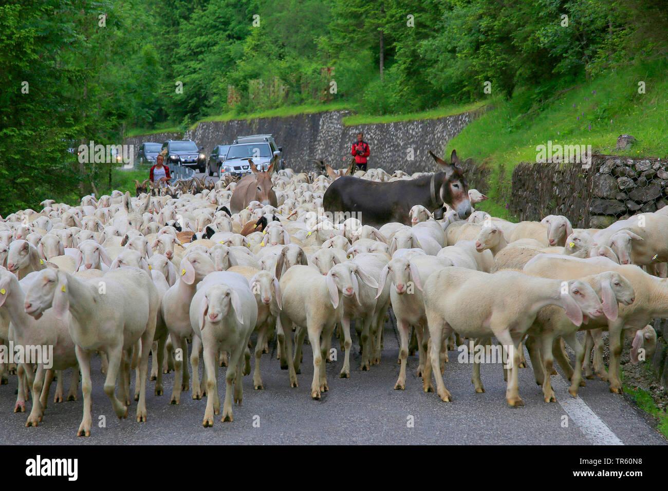 Ovejas domésticas (Ovis ammon f. aries), rebaño de ovejas con dos burros bloqueando el flujo de tráfico, Alemania Imagen De Stock