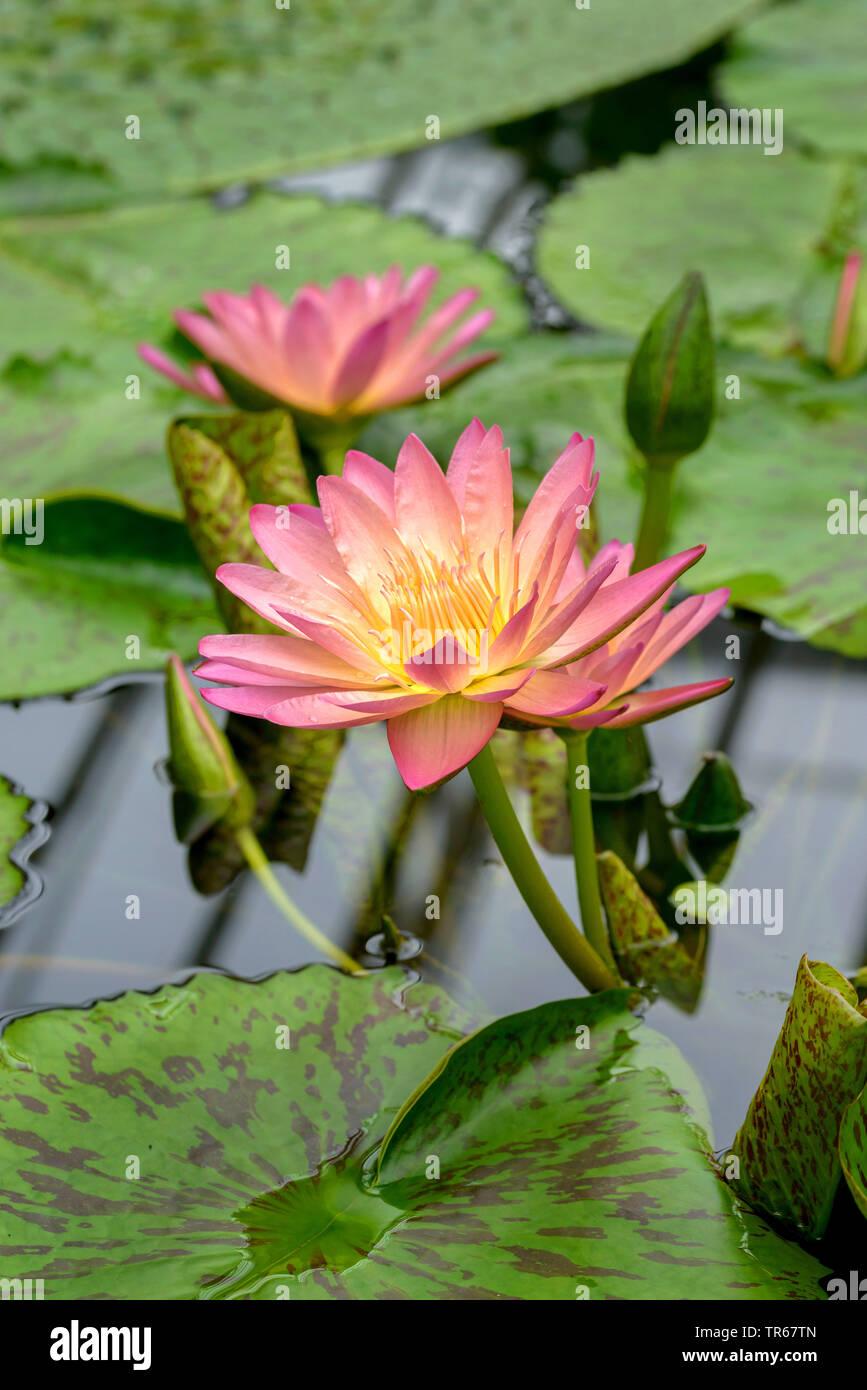 Lily, estanque de nenúfares (Nymphaea 'Albert Greenberg', Nymphaea Albert Greenberg), floreciendo Albert Greenberg Foto de stock