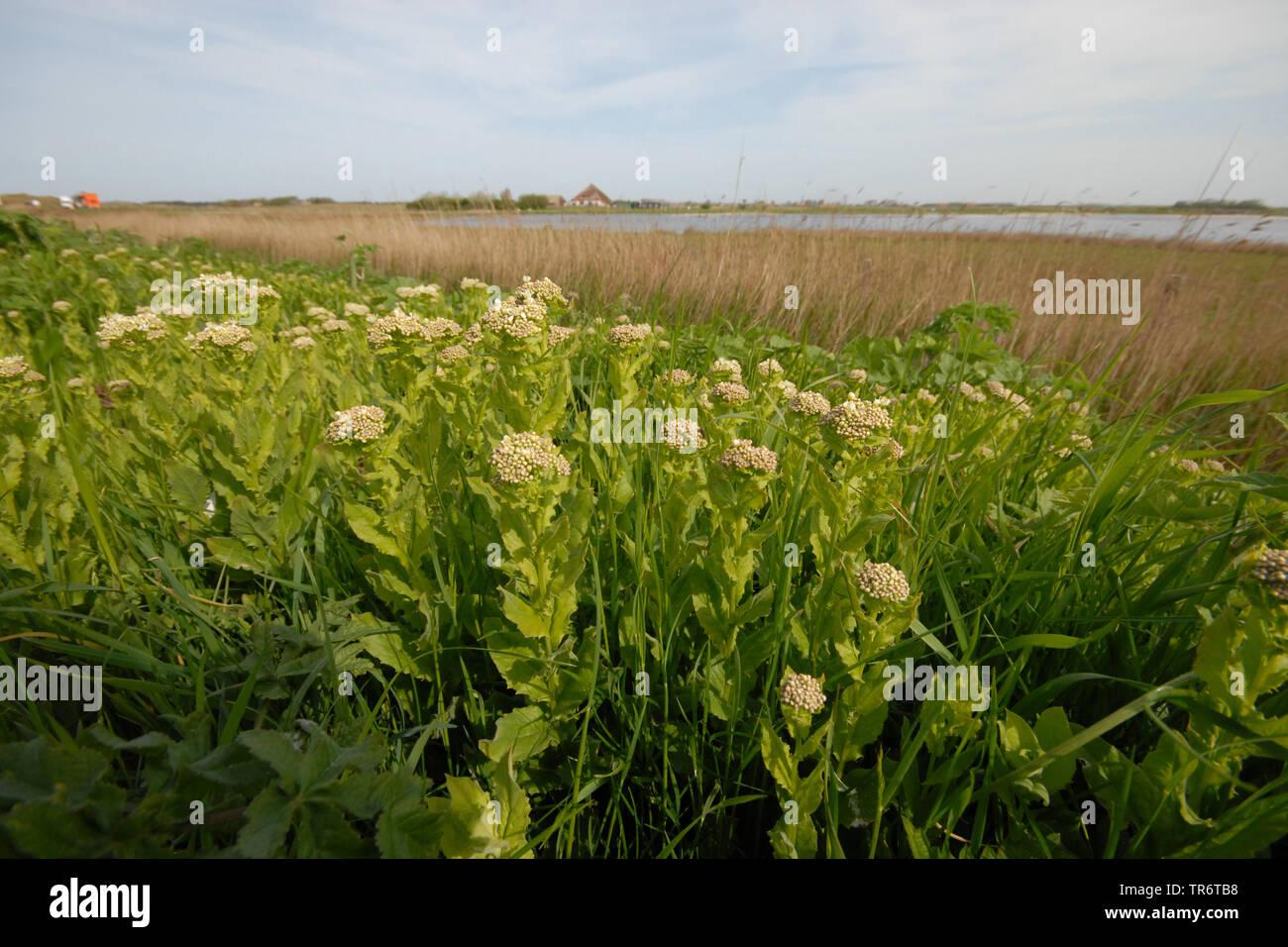Parte superior de color blanco, canoso berro (Cardaria draba), los Países Bajos, Texel Foto de stock