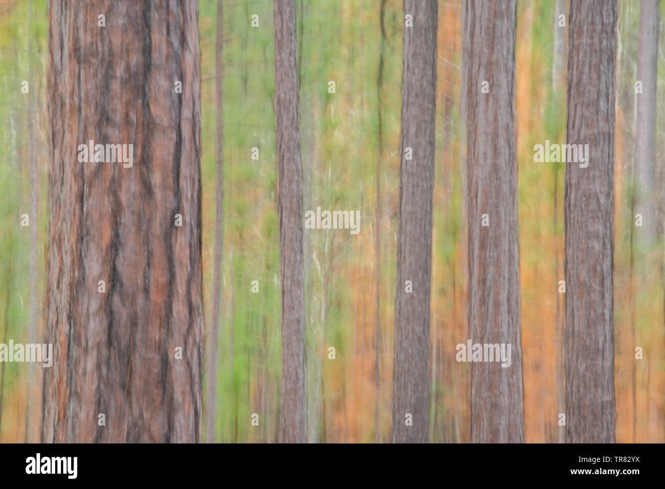 Soft Focus de Longleaf pinos (Pinus palustris), Weymouth Woods Nature Preserve Sandhills, NC, EE.UU., por Bill Lea/Dembinsky Foto Assoc Foto de stock