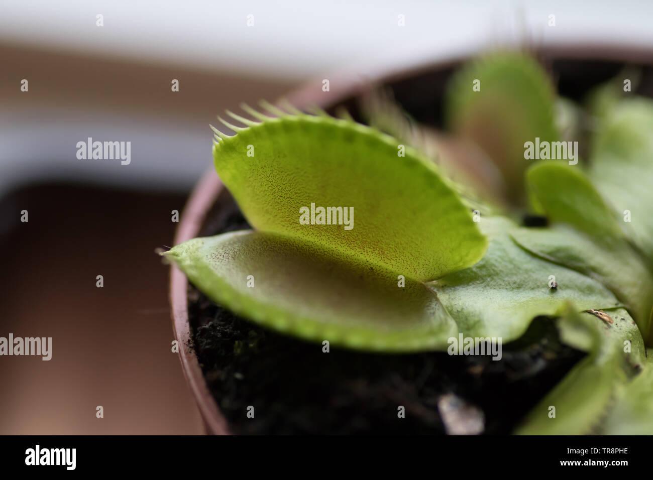 - Atrapamoscas Dionea Muscipula (en latín) Foto de stock