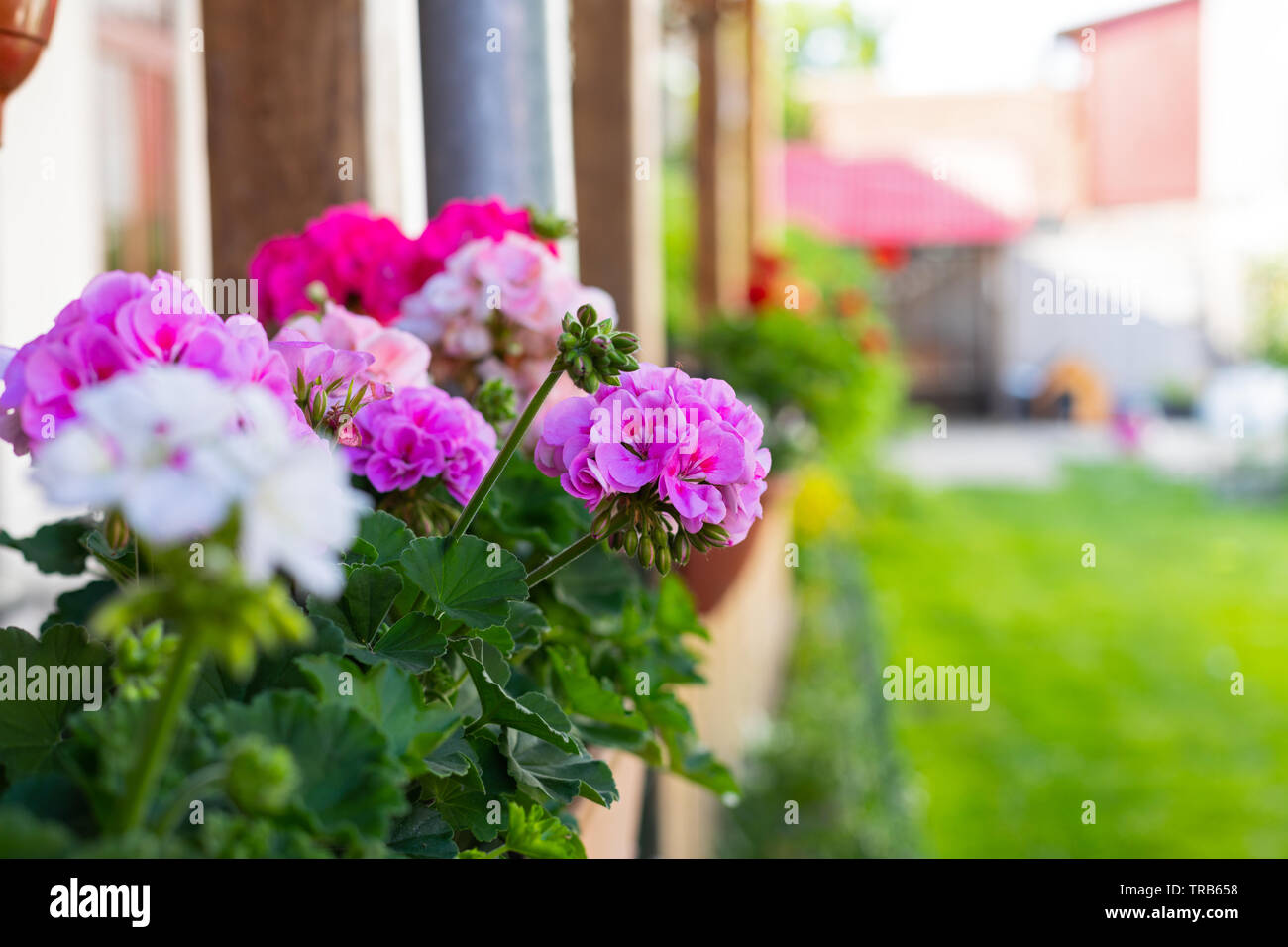 Brillantes Y Coloridas Flores De Geranio En Una Maceta