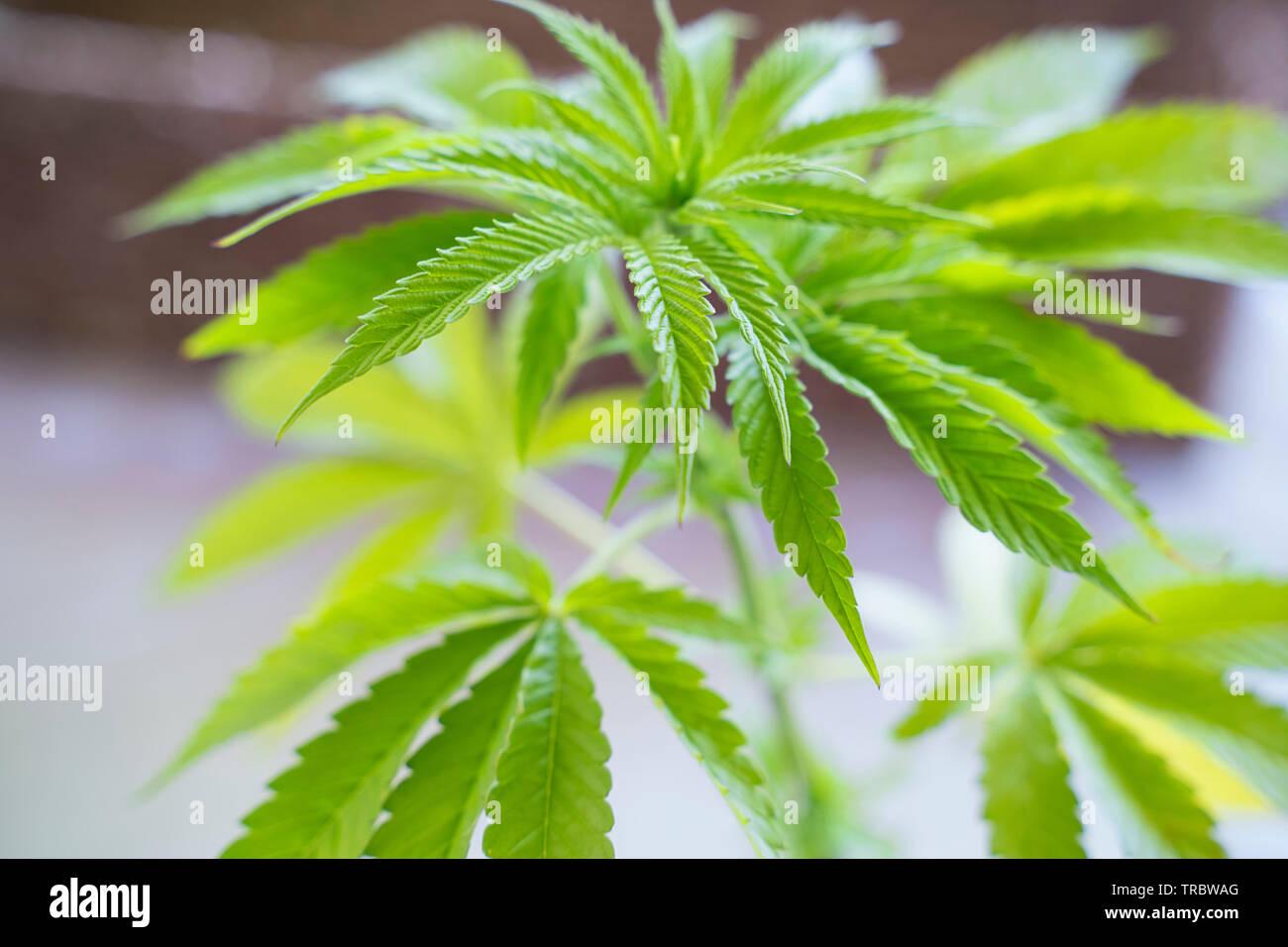 Cannabis sativa, Planta marihuana Foto de stock
