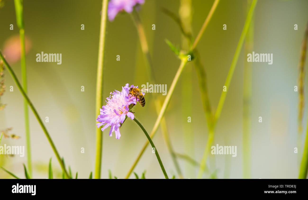 Sube una abeja sobre una flor para recoger el polen. Foto de stock