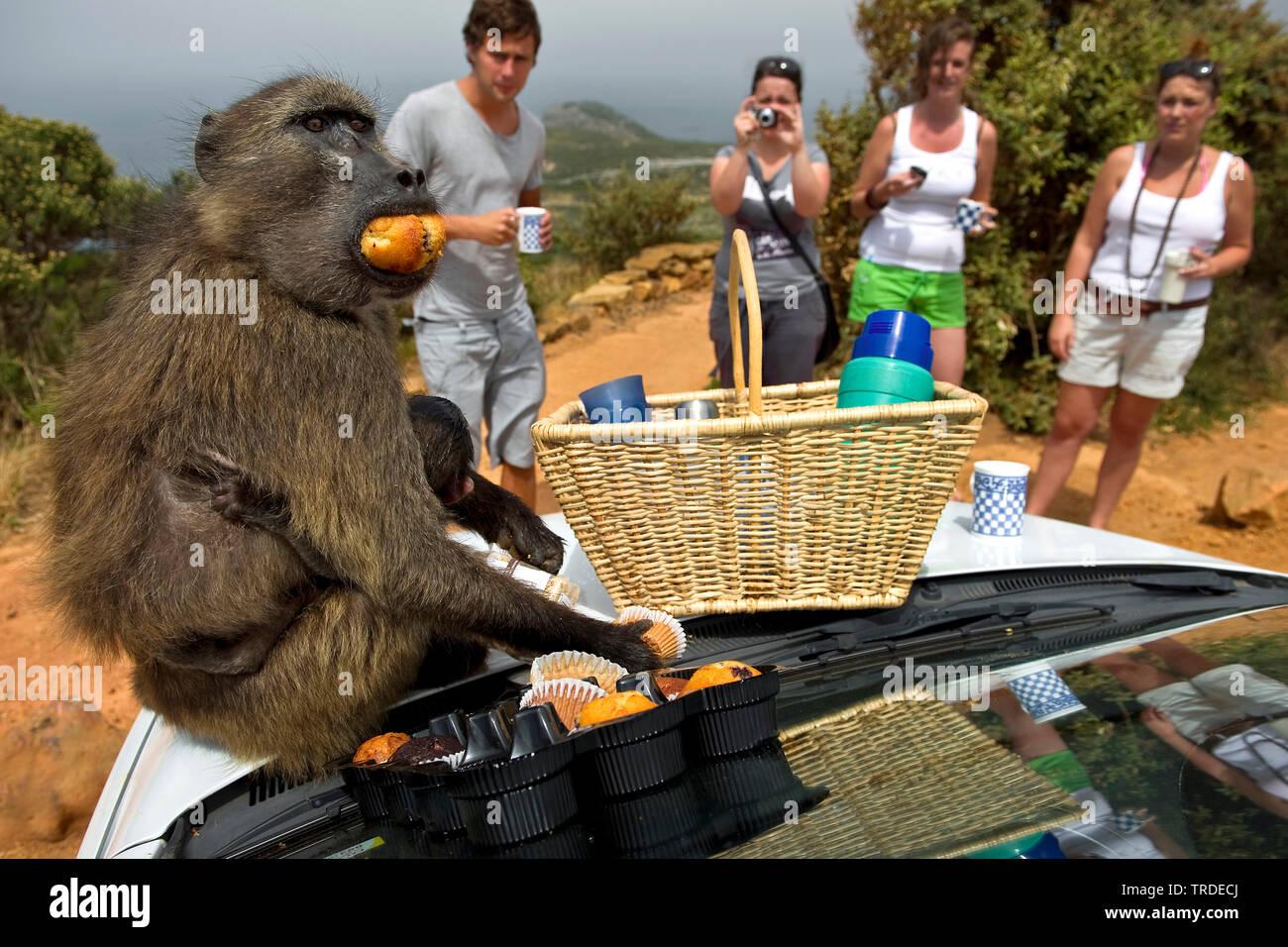 Chacma Baboon, anubius babuino, olive babuinos (Papio ursinus, Papio ursinus cynocephalus), sorprendiendo a los turistas en un picnic y comer molletes, Sudáfrica, Cabo Occidental, Cabo de Buena Esperanza, el Parque Nacional de Cape Town Imagen De Stock
