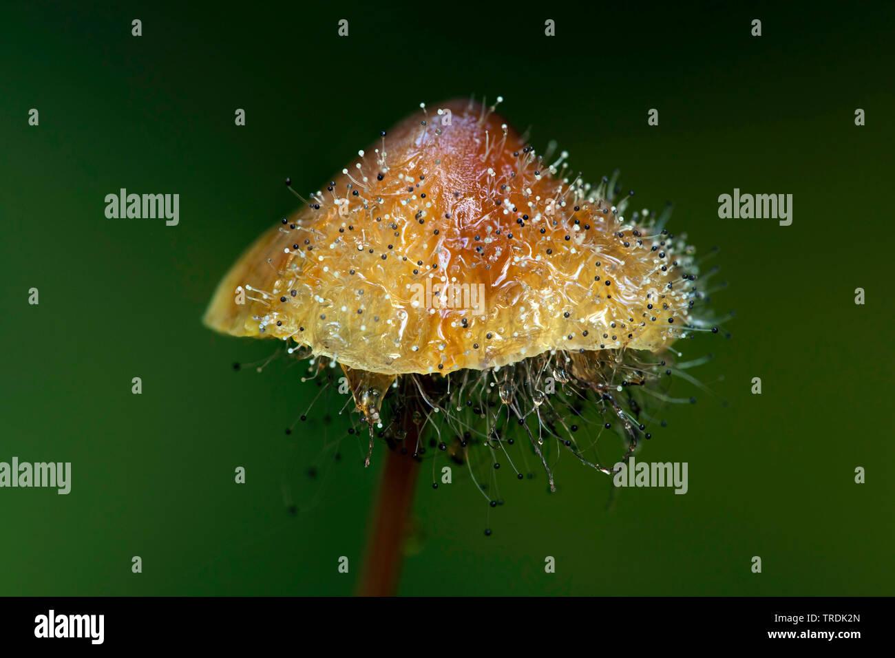 (Mycena crocata saffrondrop capot), capot Saffrondrop Spinellus fusiger es afectada por, Países Bajos Imagen De Stock
