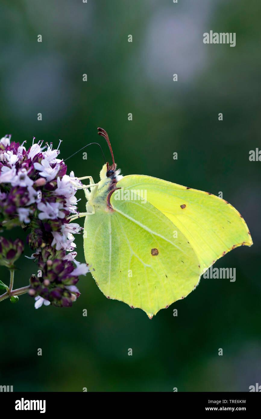 Brimstone (Gonepteryx rhamni), chupa el néctar de una flor, Alemania Foto de stock