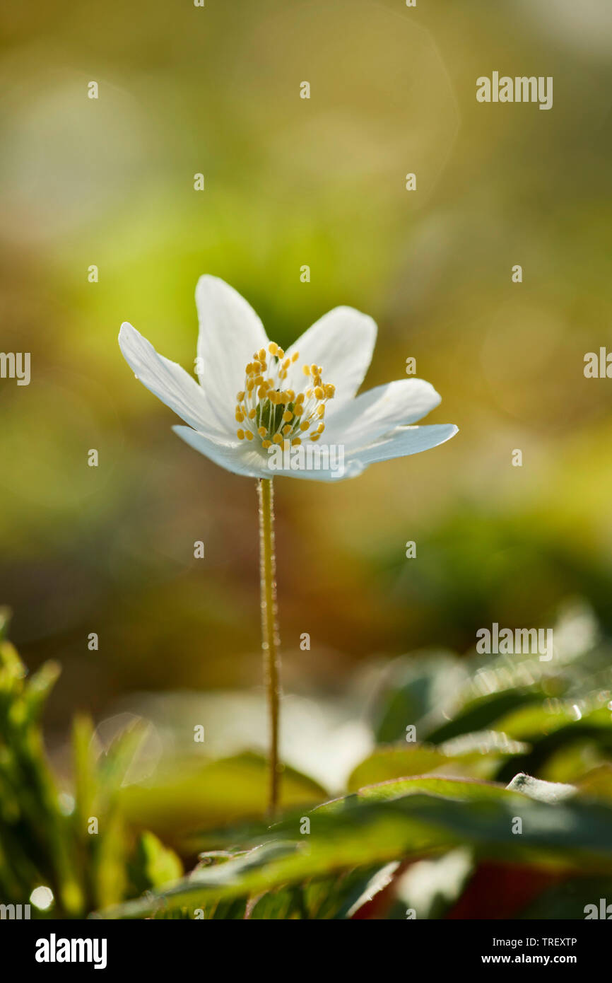 Madera, Windflower anémona (Anemone nemorosa), pedúnculo floral. Alemania Foto de stock