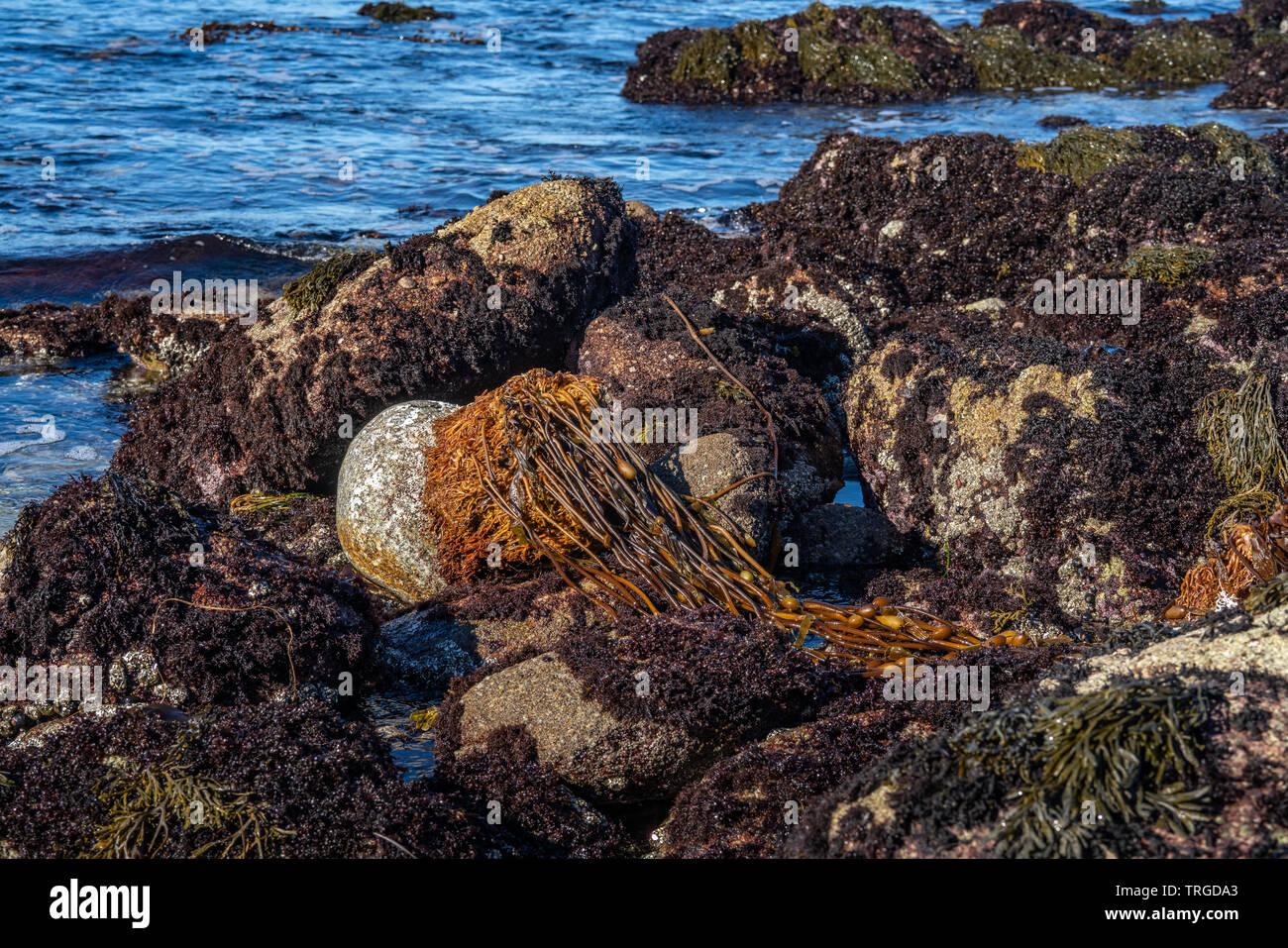 Percebe y algas en las rocas en la costa Sunset Drive off en Monterey, California Foto de stock